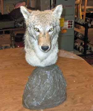 Coyote Pedestal on Rock