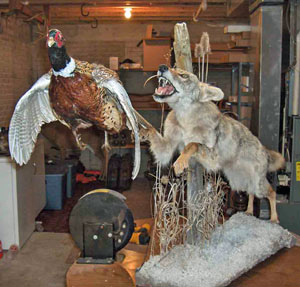 Full Body Open Mouth Coyote and Pheasant