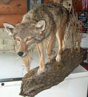 Coyote on wood slab