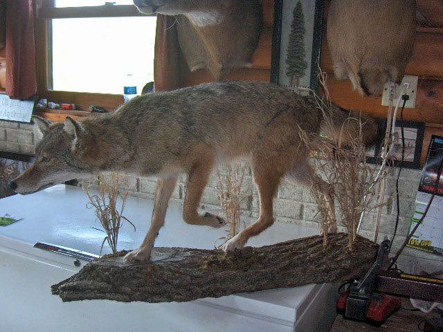 Coyote on Wood base