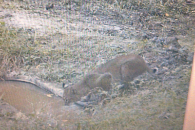 bobcat at waterhole